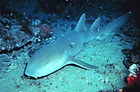 Nurse Shark, Ginglymostoma cirratum