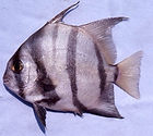 Atlantic Spadefish: Chaetodipterus faber
