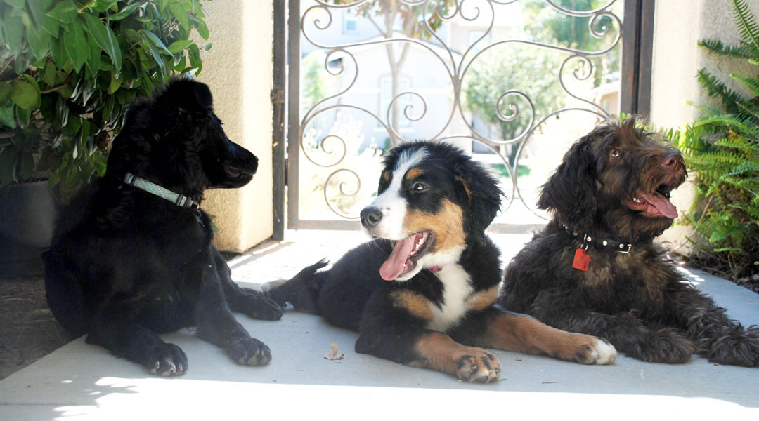 Harry The Aussie Doodle With Ellie The Bernese Mountain Dog