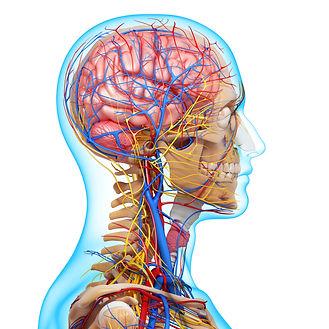 Atlas compresses vascular system