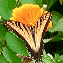 Butterfly Glamor 1