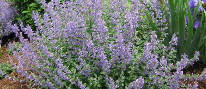 Catmint for Fairy Cats
