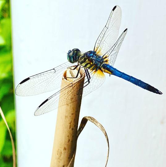Queen Lysandra Drangonfly