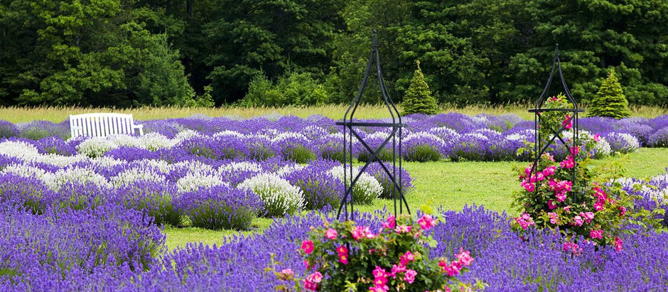 Lavender Farm largest grower in the Midwest – Door County