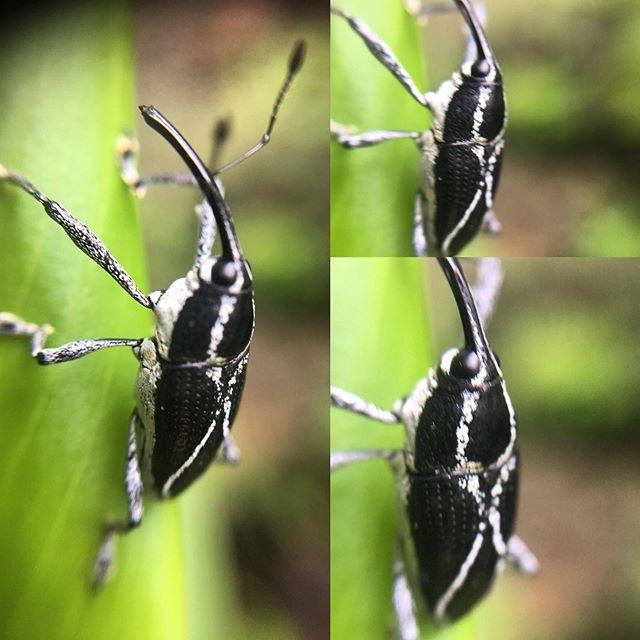 Curculionidae! Weevil! _willkuhn2 #beetl