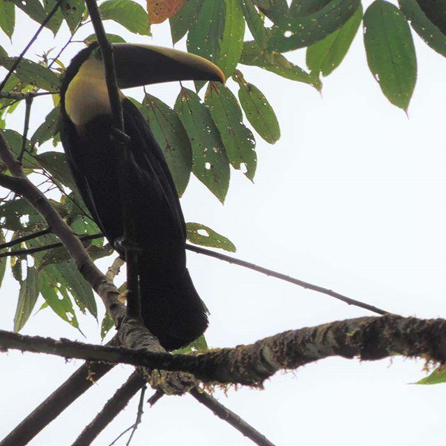 Ramphastus! #tucan #birds