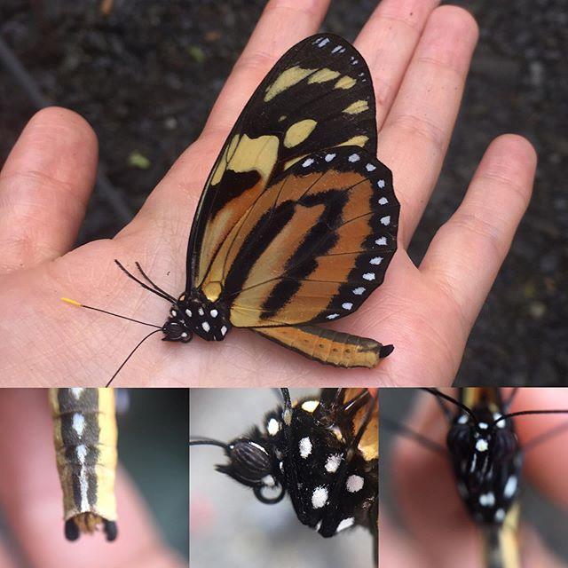 Ithomiinae tanatosis #butterfly #macrowo
