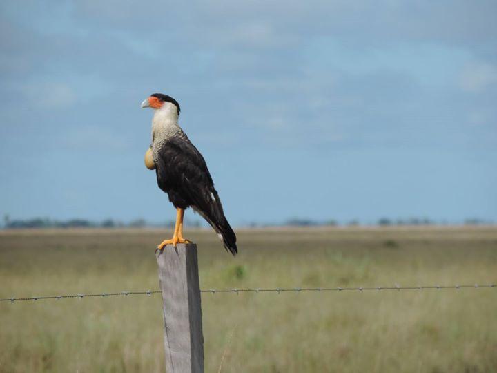 Caracara bird, we think it just ate! El Caracara , como que acaba de comer!