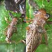 Polythoridae larvae
