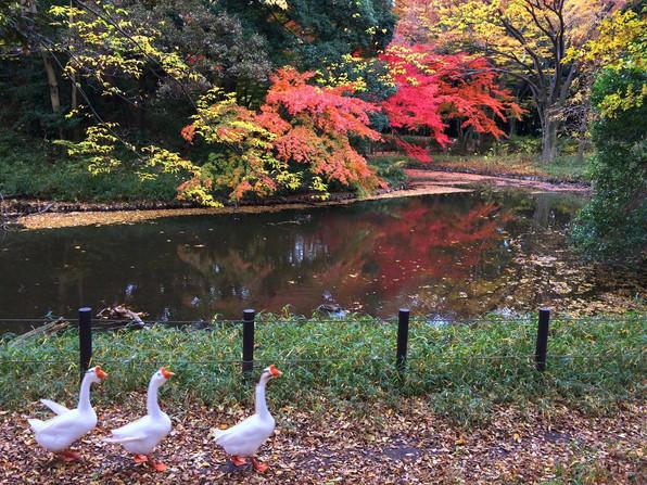 Elegant autumn in neighborhood / 錦秋のウチの近所
