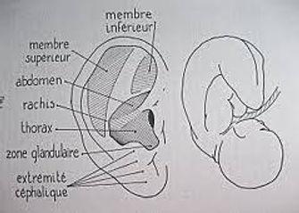 foetus_invesré.jpg
