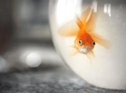 goldfish-in-bowl-CHGQH4Q