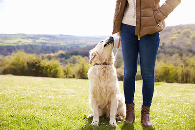 close-up-of-golden-retriever-on-walk-in-