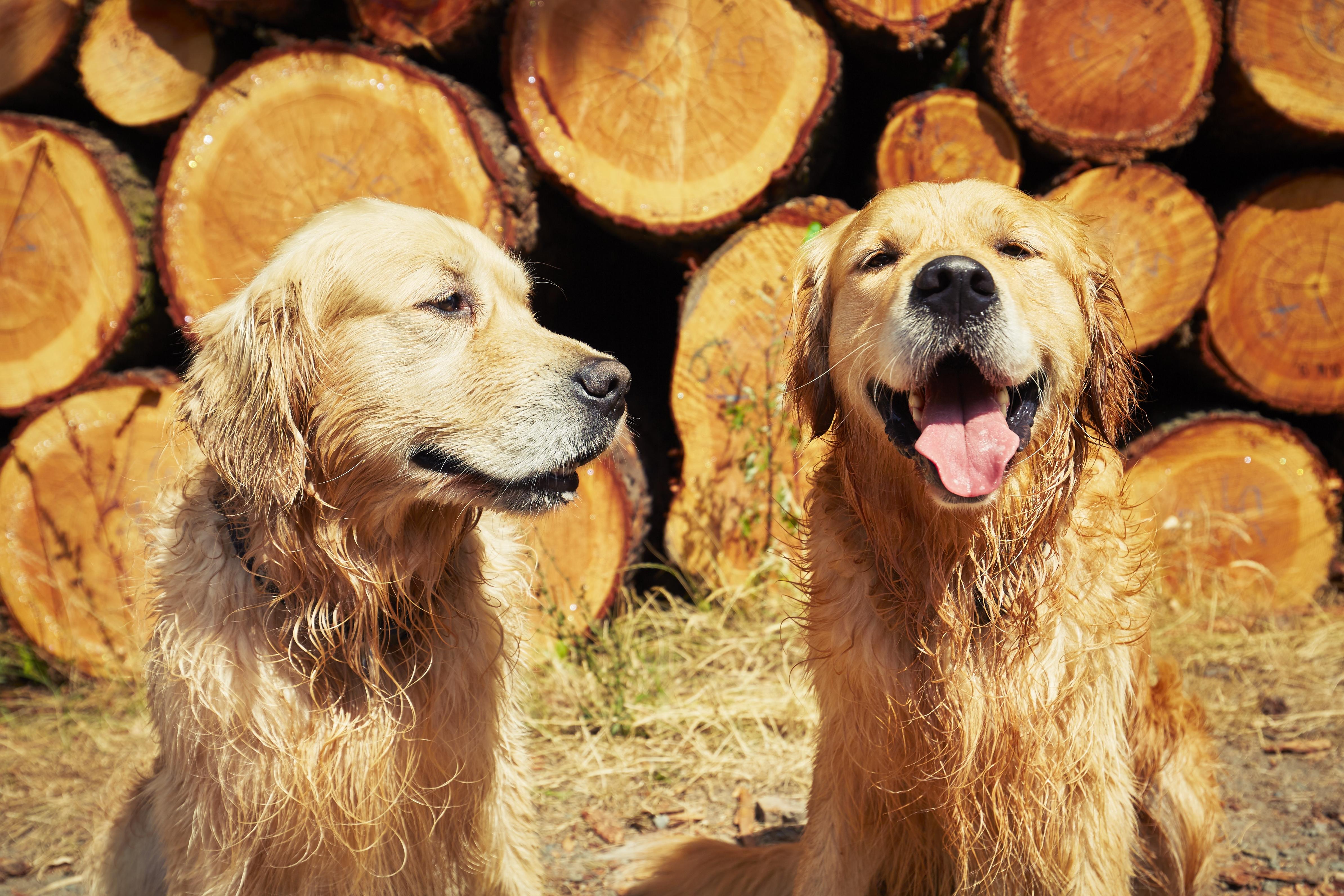 two-golden-retriever-dogs-PJTDUVN