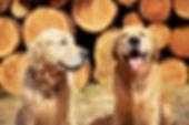 two-golden-retriever-dogs-PJTDUVN.jpg