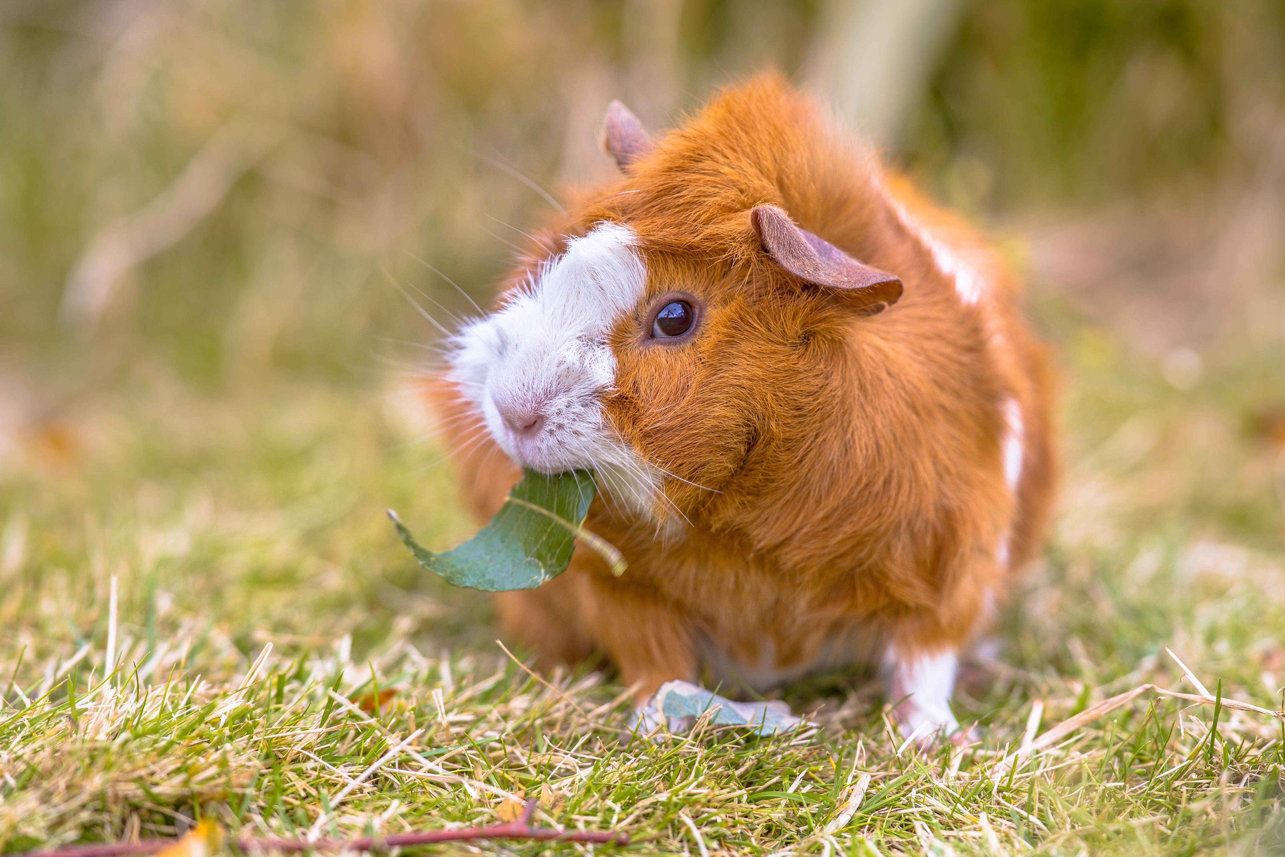 guinea-pig-in-backyard-P7JM9EK