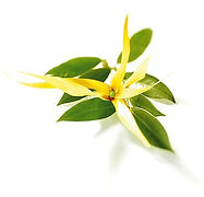 huile,essentielle,ylang