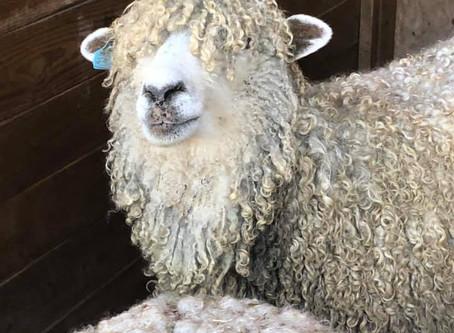 Shearing Day 2020