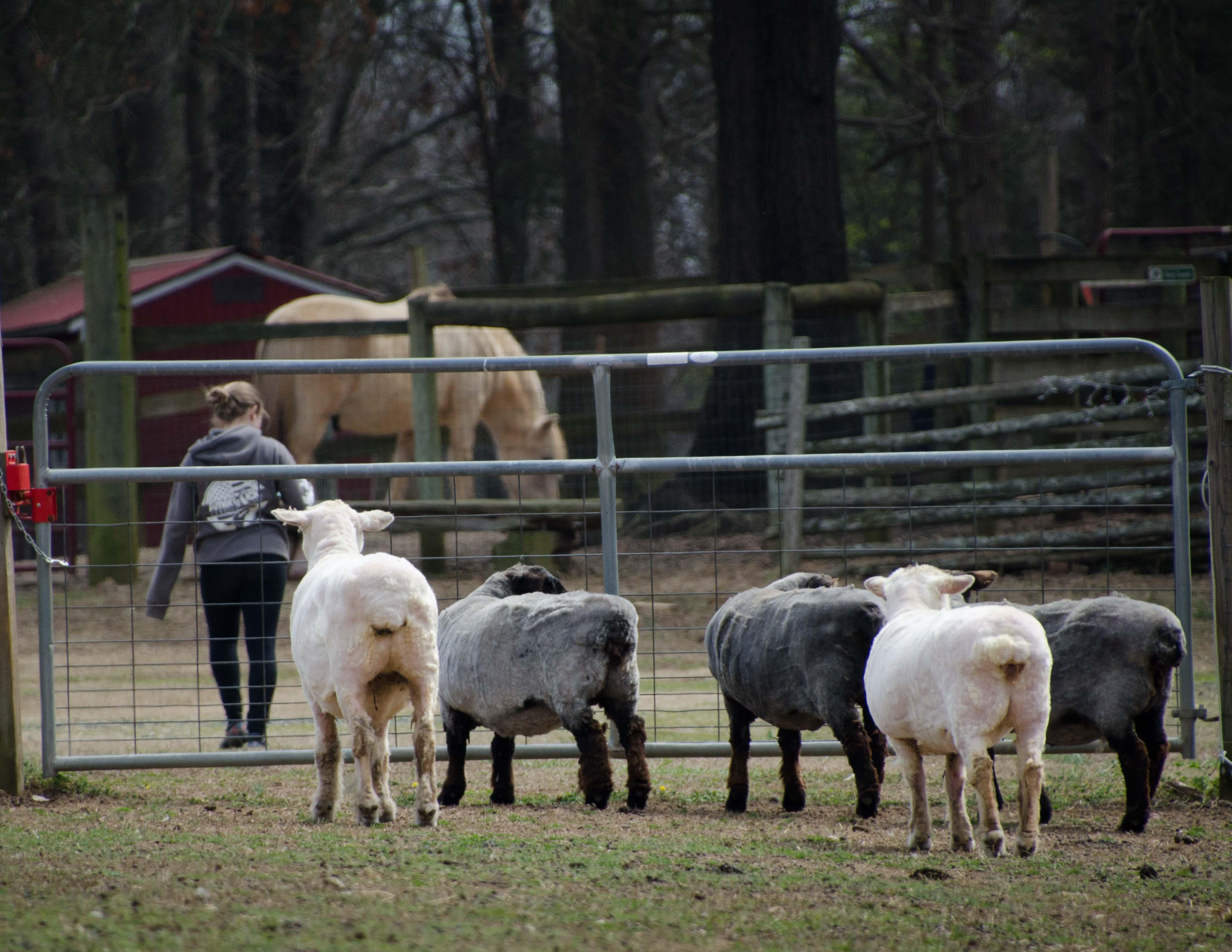 Sheep (1 of 1)-3