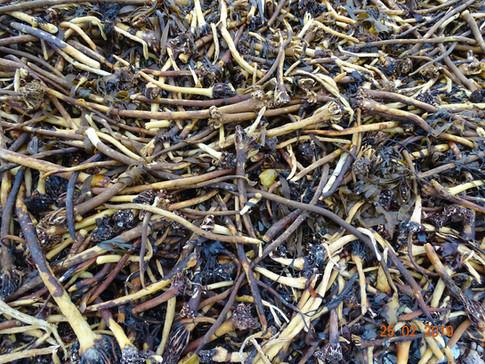 Shetland Seaweed