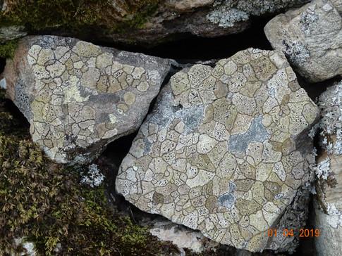 Natural Lichen