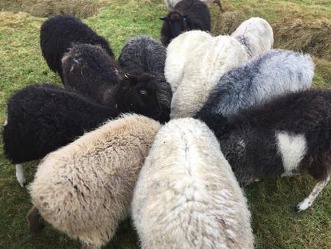 Garth Croft Shetland Sheep