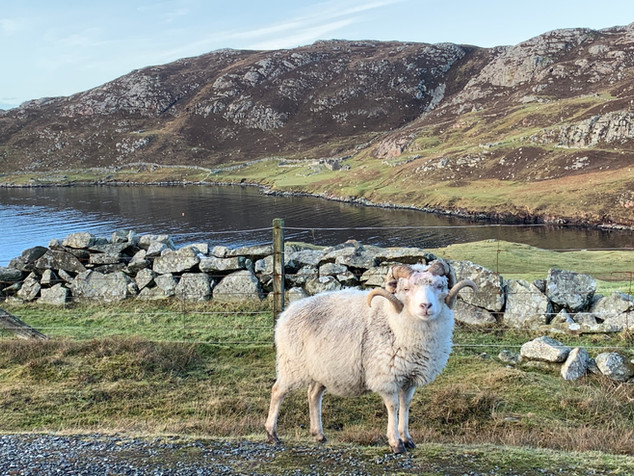 Nibon Sheep.