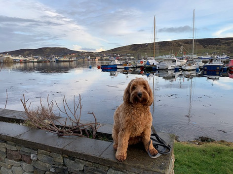 Teddy Posing in Scalloway