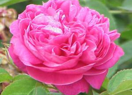 Rose Floral Water - Australia
