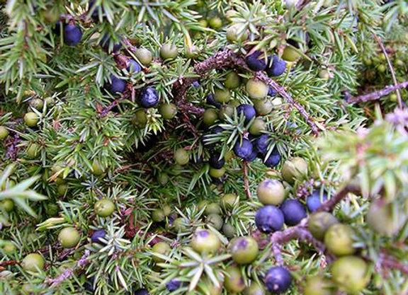 Juniper Berry Essential Oil - Spain 25ml