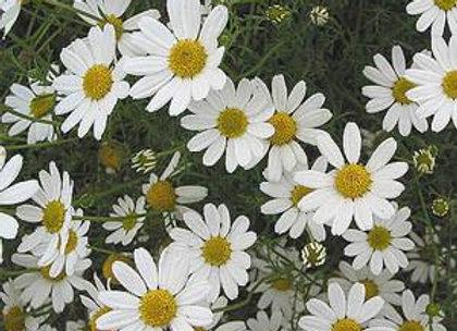 Chamomile Floral Water - Australia