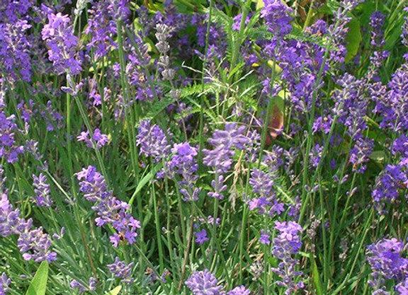 Pure Lavender Essential Oil - Australia 25ml