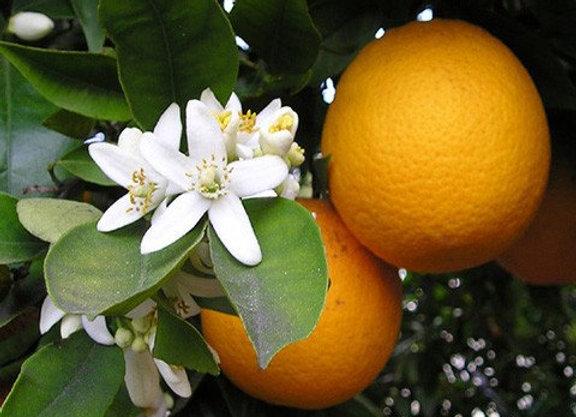 Pure Orange Essential Oil - Australia 25ml