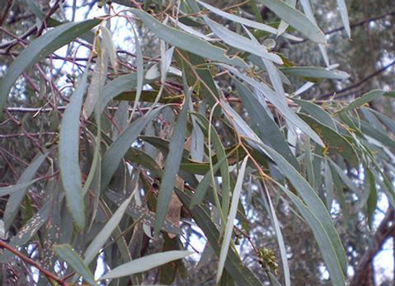 Eucalyptus Essential Oil - Australia 25ml