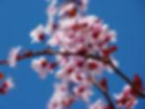 almond-blossom-5378_1920.jpg