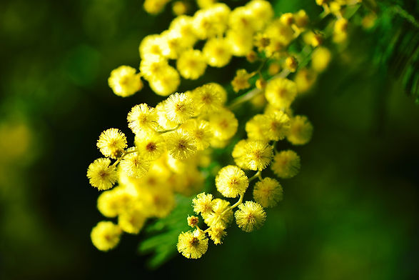 mimosa-274206_1920.jpg
