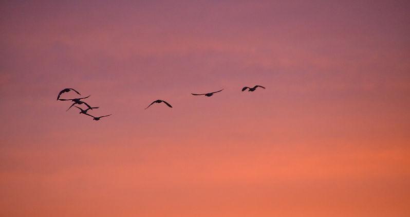Ganzen en weidevogels vliegen boven het landschap van bio-boerderij De Nije Mieden