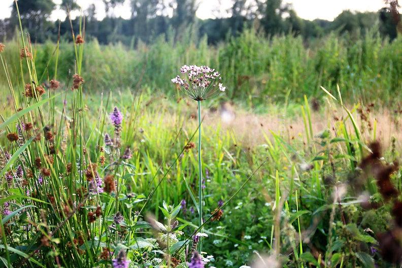 Kruidenrijk landschap bij biologische melkveehouderij De Nije Mieden