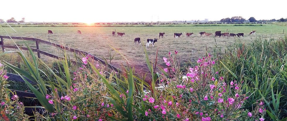 Jongvee en melkvee in het weiland bij biologische boerderij De Nije Mieden