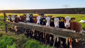 Kalfjes bij de koe