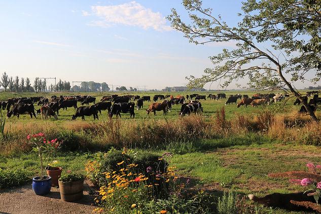 Koeien in de wei met op de achtergrond biologische boerderij De Nije Mieden