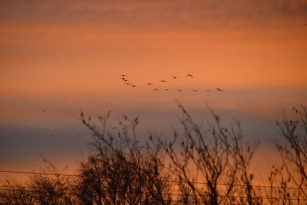 Vogels boven het landschap van biologische melkveehouderij De Nije Mieden