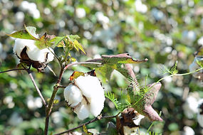 Cotton_plant,_Ware_County,_GA,_US.jpg
