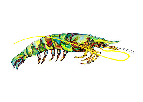 Green Jewel Prawn