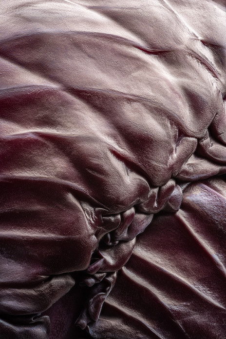 Brassica Oleracea Rubra