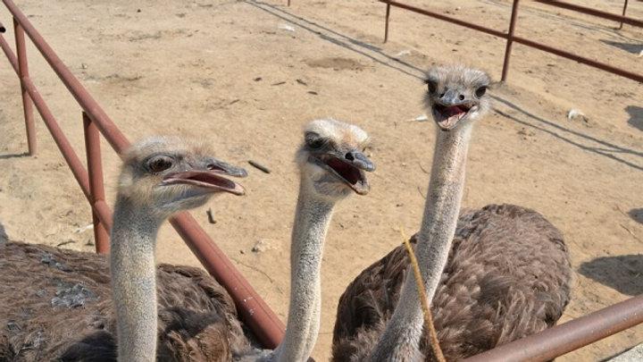 В гости к страусам, Чеховский район