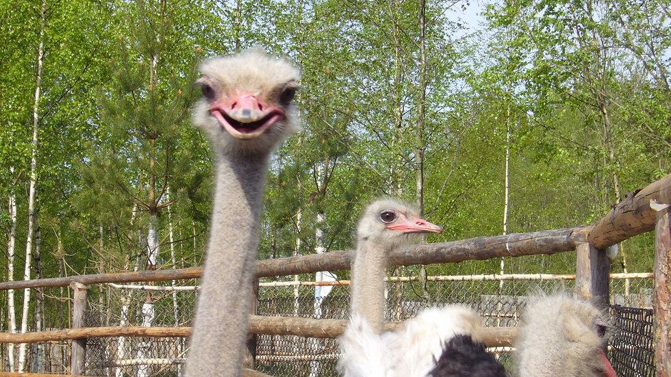 В гости к страусам. тематическая экскурсия