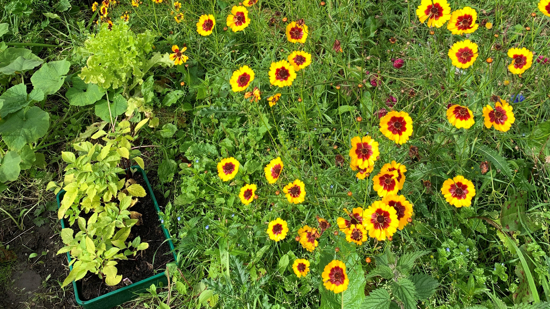 Dyers Coreopsis
