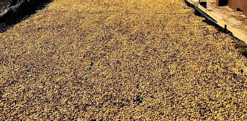 coffee fermentation