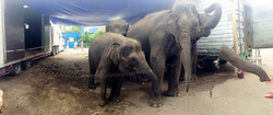 circus elephants - Moscow 2014